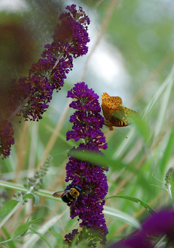 butterfly, bee, buddleia
