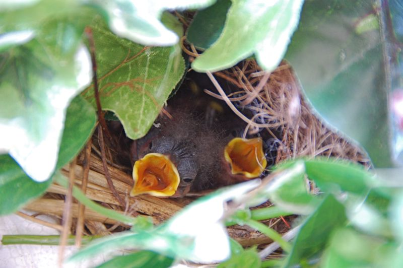 baby wrens - the August brood