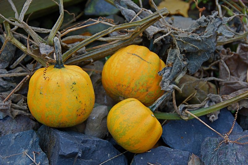 volunteer gourds