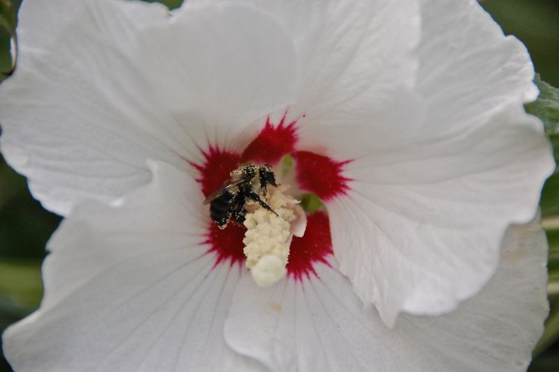 rose of sharon bee