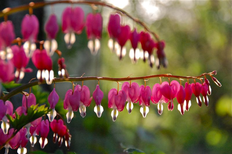 evening bleeding hearts