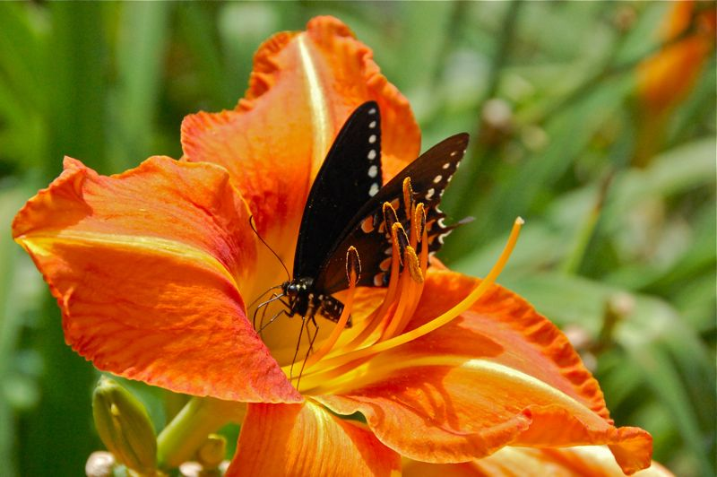 swallowtail in lily