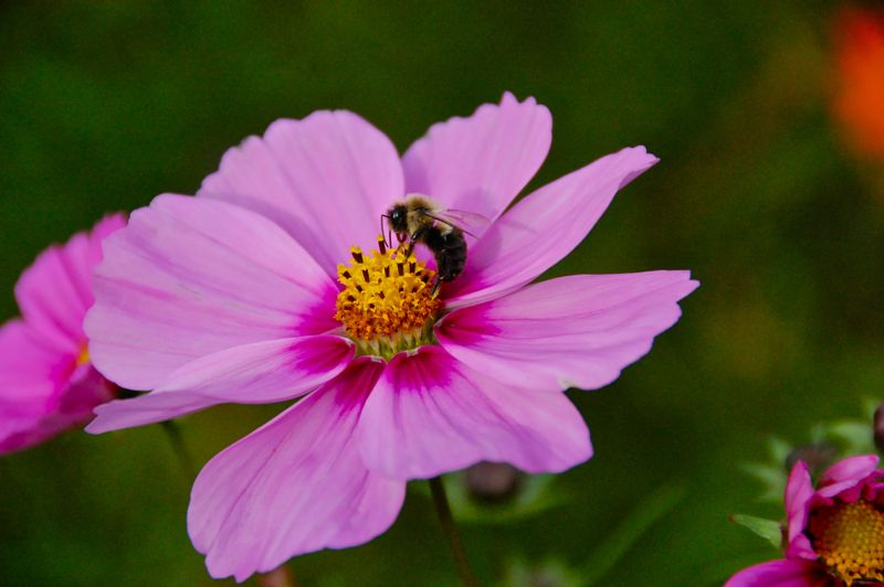 bee and cosmos before the frost