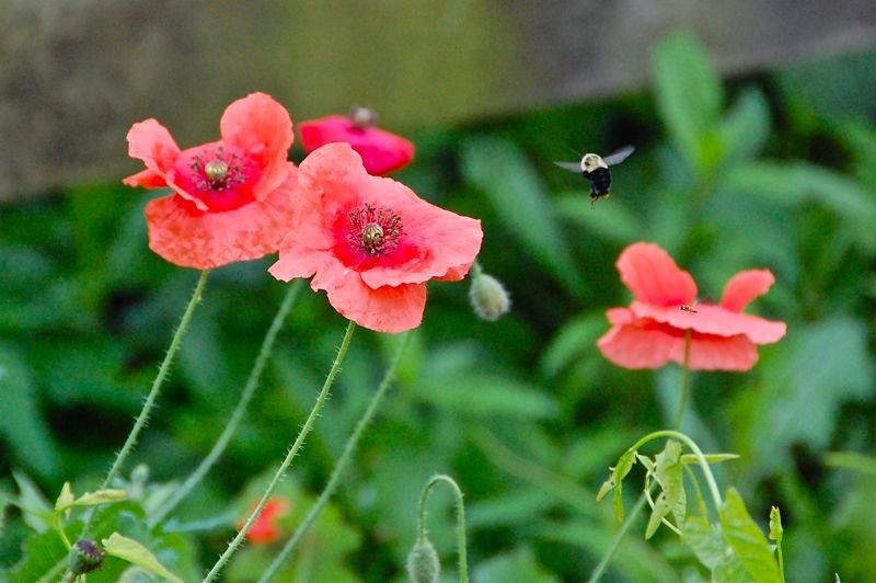 bees' poppies