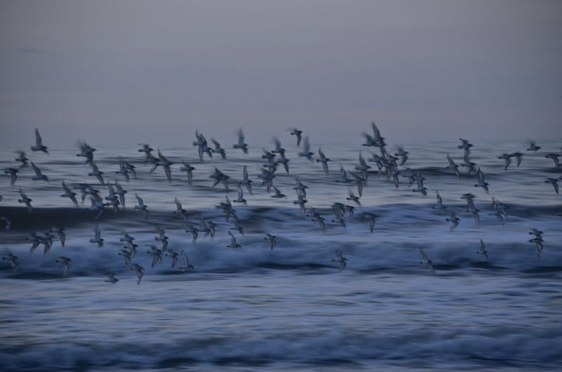 stone harbor sandpipers at dawn